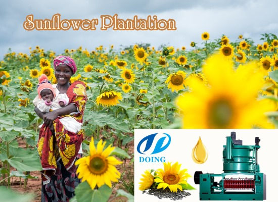 Sunflower oil production business in Tanzania is blooming